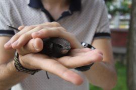 Evinin terasında ebabil kuşu buldu