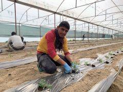 Isparta'da 1 milyon 400 bin domates fidesi toprakla buluşuyor