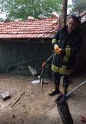 Isparta'da tavuk ve civcivi telef eden yılan operasyonla yakalandı