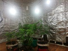 Kenevir yetiştirmek için özel oda kurulan eve operasyon