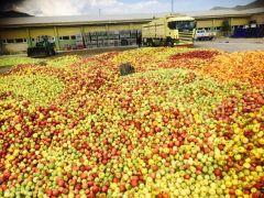 Eğirdir'de ıskarta elmanın kilosu 65 kuruştan alınıyor