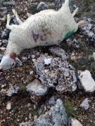 Isparta'da kurtların saldırısı sonucu 15 koyun telef oldu