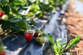 Isparta tarımının çilek yetiştiriciliği hedefi