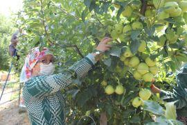 Isparta'da elma üretimi rekor kırdı, kentte bu sezon 900 bin ton elma üretildi