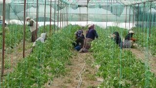 Isparta'nın Deregümü köyünde 1 milyon 200 bin domates fidesi toprakla buluşuyor